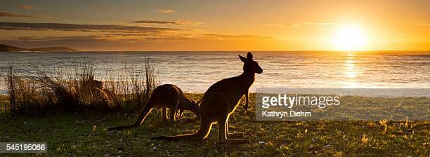 sunrise kangaroo at beach