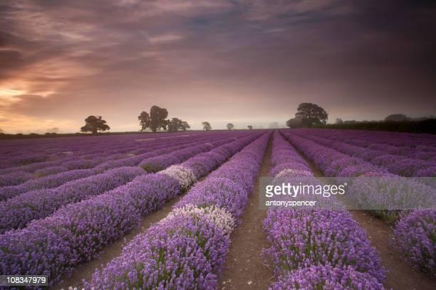 Sunrise lavender.