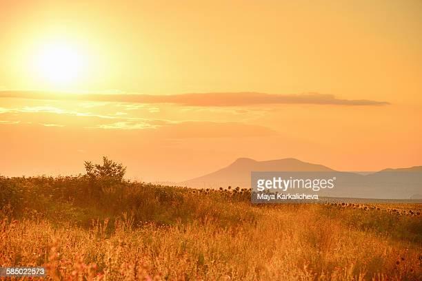 Sunrise on a summer sunflower field