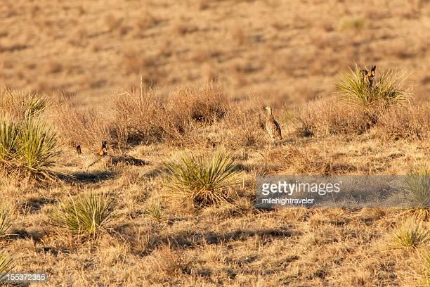 nascer do sol em grande prairie galinhas e lek noroeste do colorado - televisão de alta definição - fotografias e filmes do acervo
