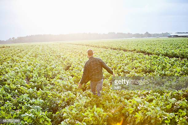 sunrise on the farm, man working thru crop field - rauwe aardappel stockfoto's en -beelden