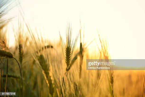 sunrise over a field - wheat stock pictures, royalty-free photos & images