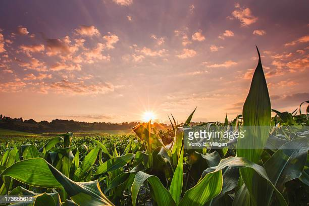 sunrise over field of crops in france - corn stock pictures, royalty-free photos & images
