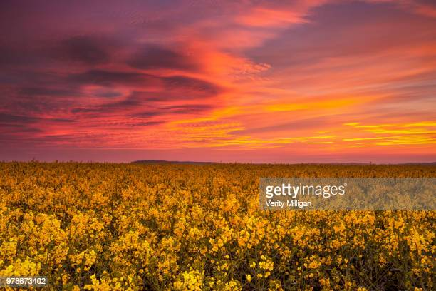 sunrise over field of rape, northamptonshire, east midlands, england, uk - northamptonshire stock pictures, royalty-free photos & images