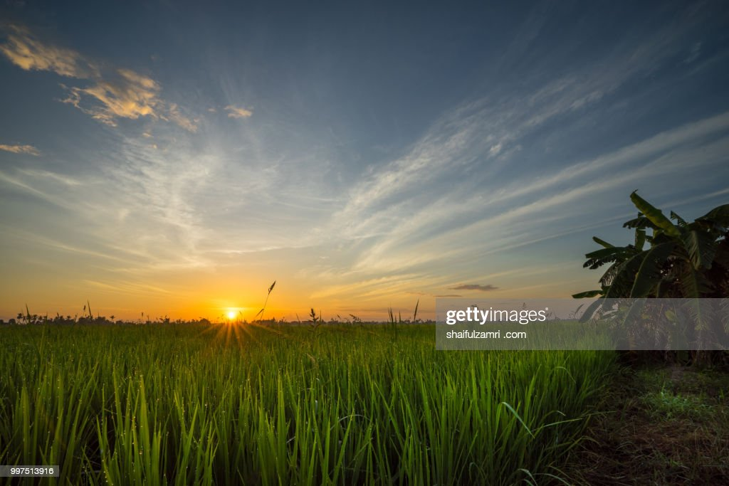 sunrise over paddy field : Stock Photo