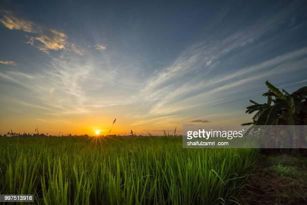sunrise over paddy field - shaifulzamri fotografías e imágenes de stock