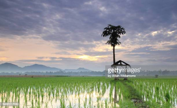 Sunrise over rice fields of Jember
