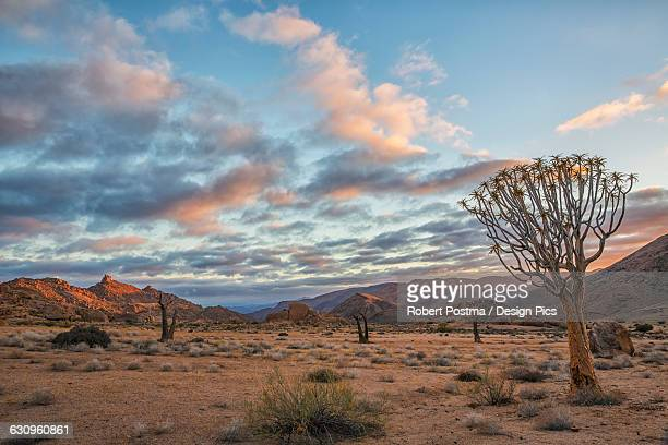 sunrise over richtersveld national park, kookerboom trees dot the landscape - köcherbaum stock-fotos und bilder