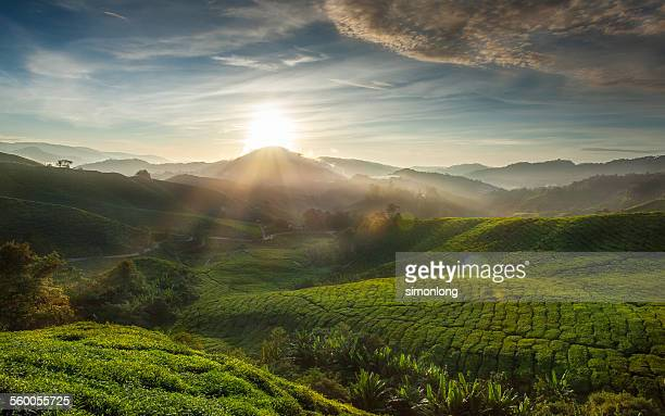 Sunrise over tea plantation in Malaysia
