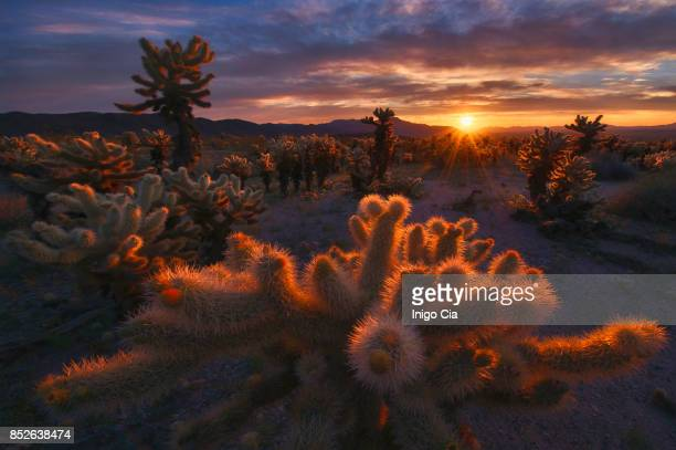 Sunrise over the cactus, Mojave desert