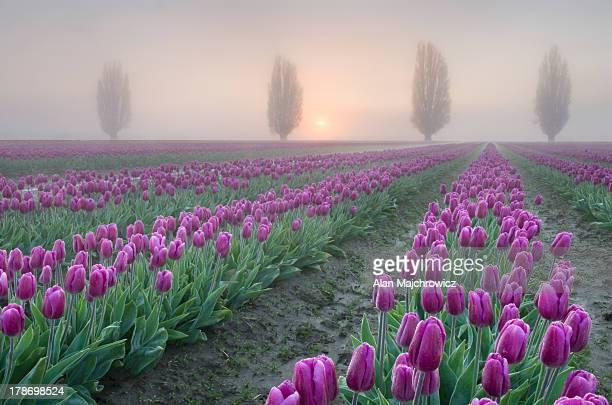Sunrise over the Skagit Valley Tulip Fields