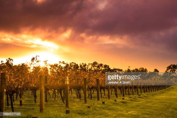 sunrise over vines - ワイナリー ストックフォトと画像