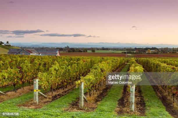 sunrise over vineyards in autumn, hawke's bay, new zealand - ホークスベイ地域 ストックフォトと画像