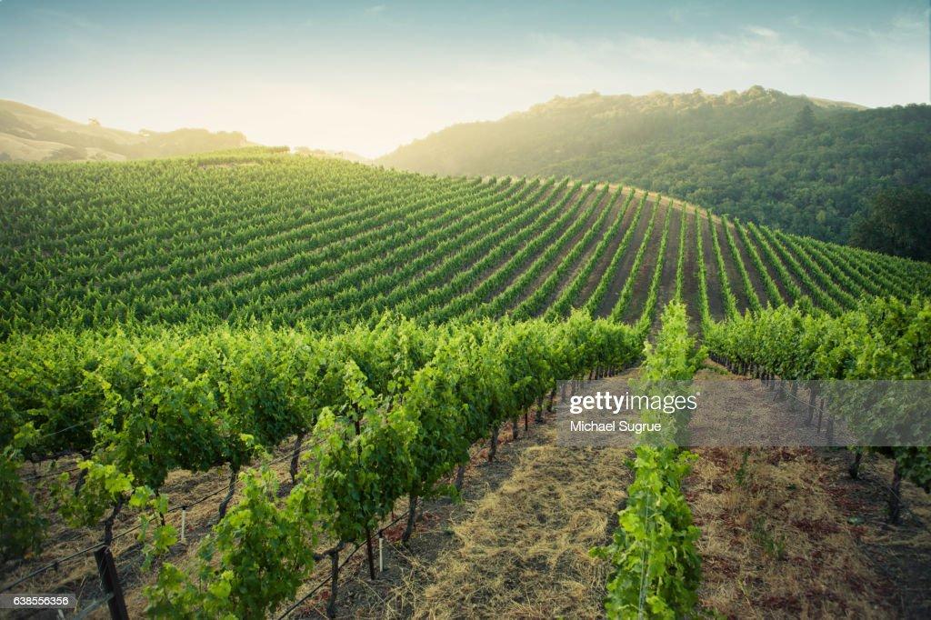 Sunrise over vineyards in Napa Valley, California. : Stock Photo