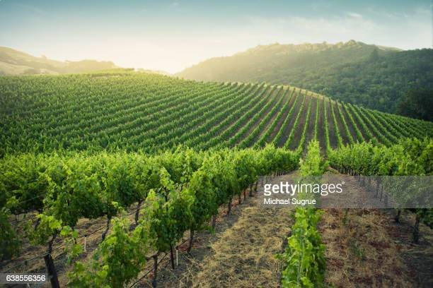 Sunrise over vineyards in Napa Valley, California.