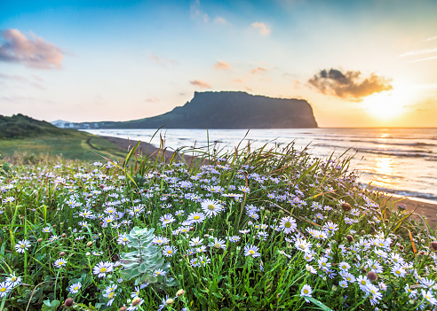 Sunrise Peak with Flower Foreground, Jeju Island - gettyimageskorea
