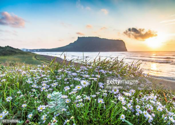 sunrise peak with flower foreground, jeju island - jeju stock photos and pictures