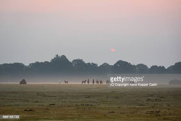 Sunrise ponies in New forest misty dawn
