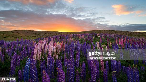 sunrise scene of russle lupines at lake tekapo - texas bluebonnet stock pictures, royalty-free photos & images