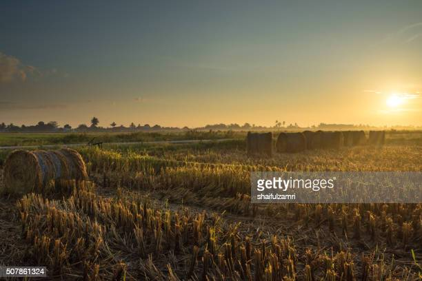 a sunrise scenery with rolls of haystack in paddy fields - shaifulzamri photos et images de collection