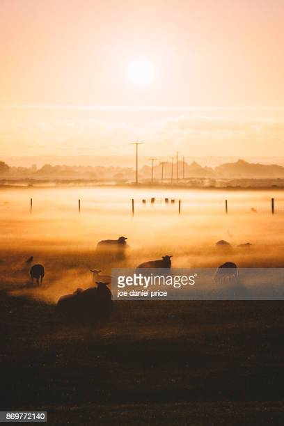 Sunrise, Sheep, Romney Marsh, Kent, England