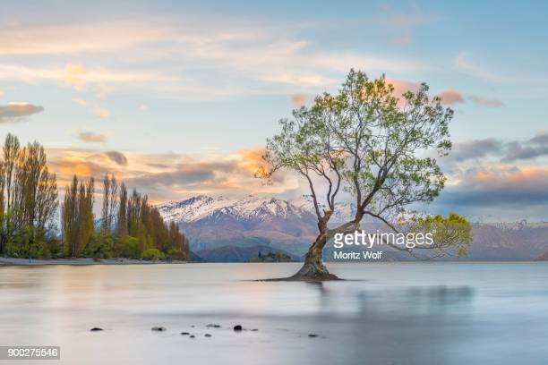 sunrise, single tree standing in water, lake wanaka, the wanaka tree, roys bay, otago, southland, new zealand - international landmark stock pictures, royalty-free photos & images