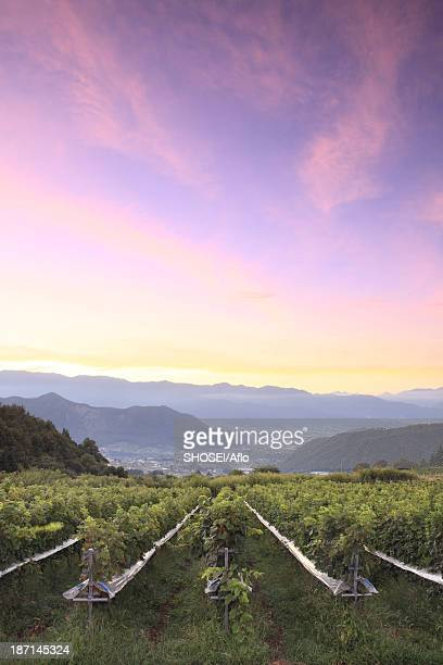 sunrise sky over vineyard, yamanashi prefecture - yamanashi prefecture stock pictures, royalty-free photos & images