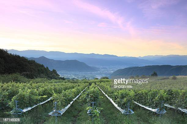 sunrise sky over vineyard, yamanashi prefecture - 山梨県 ストックフォトと画像