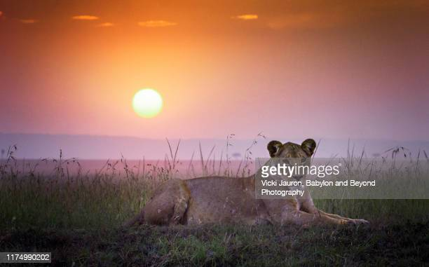 sunrise sky with lioness looking toward camera  in the foreground at masai mara, kenya - kenya stock pictures, royalty-free photos & images