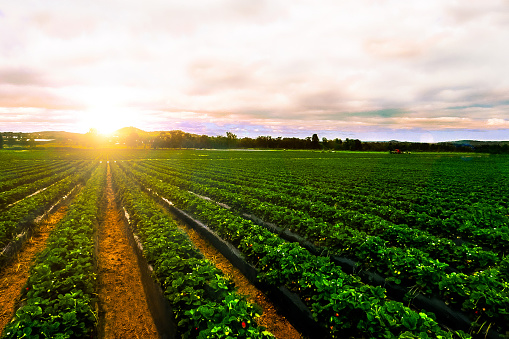 sunrise strawberry farm landscape agricultural agriculture 1091940998