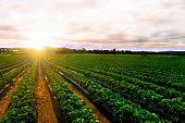 sunrise strawberry farm landscape agricultural agriculture