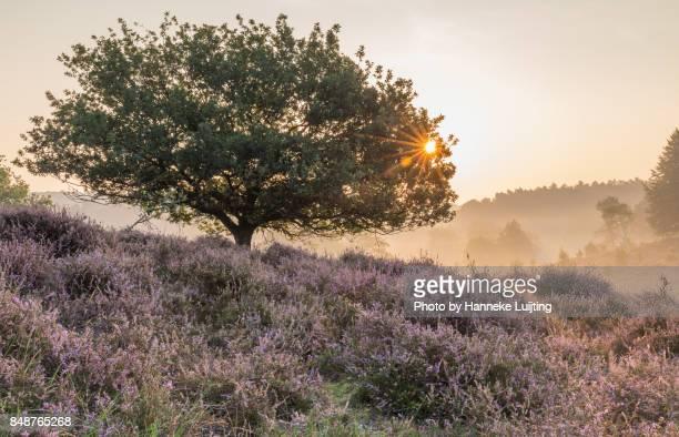 sunrise through a lone tree, veluwezoom national park - posbank ストックフォトと画像
