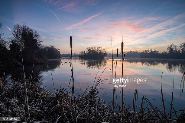 sunrise through bullrushes - reed grass family stock photos and pictures