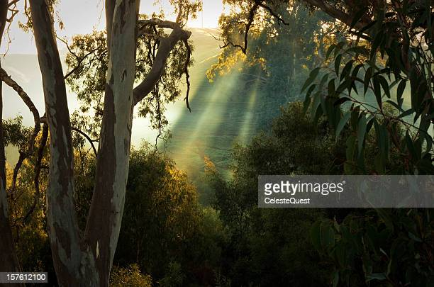 sunrise through eucalypts - eucalyptus tree stock pictures, royalty-free photos & images