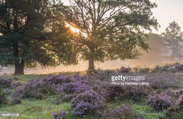 sunrise through the trees, veluwezoom national park - posbank ストックフォトと画像
