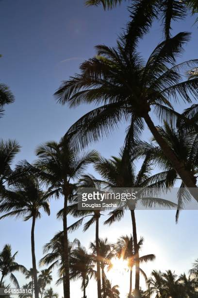 Sunrise through the tropical Palm Trees, Clearwater Beach, Florida, USA (Cocos_nucifera)