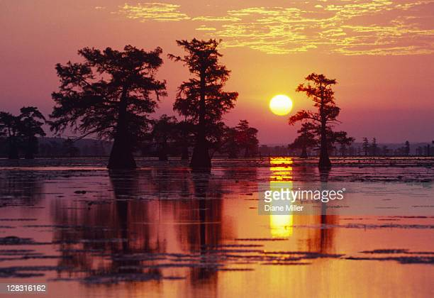 sunrise through trees in cypress swamp. caddo lake, texas, 10-02, plant, tree, cypress, swamp, sun, sunrise, calm, landscape, nature - cypress swamp stock photos and pictures
