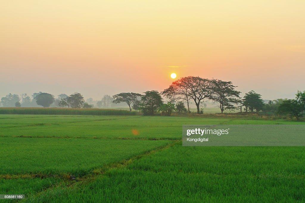 Sunrise tree fields. : Stock Photo