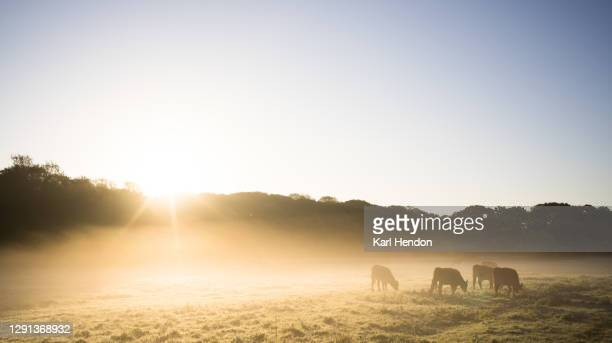 a sunrise view of cows in a misty field - stock photo - clear sky stock pictures, royalty-free photos & images