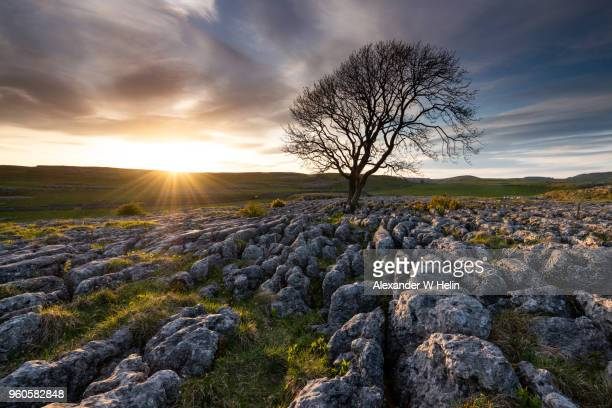 sunset and a tree - limestone pavement stockfoto's en -beelden