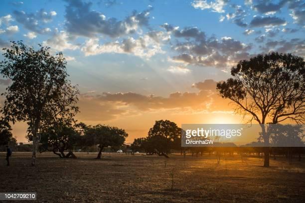 sunset and tree of cerrado, brasilia,  brazil. - ブラジリア連邦直轄区 ストックフォトと画像