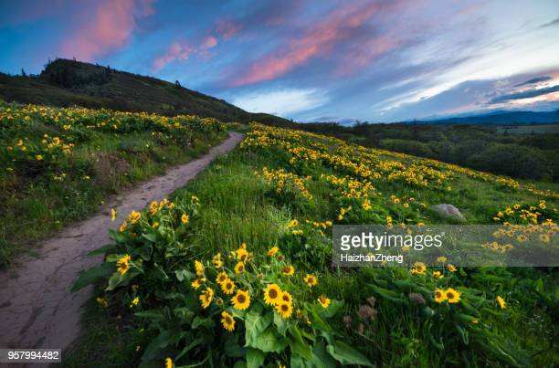sunset and wild flowers - columbia river gorge stock pictures, royalty-free photos & images