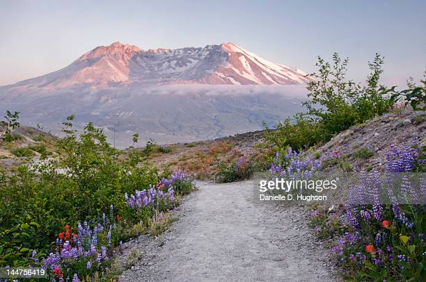 sunset and wildflower - mount st. helens stock pictures, royalty-free photos & images