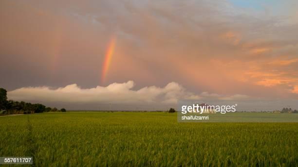 sunset at paddy field - shaifulzamri 個照片及圖片檔