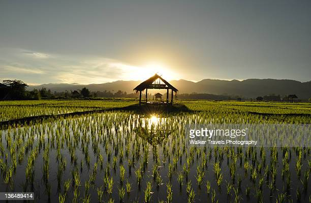 Sunset at rice paddy field in southeast Asia