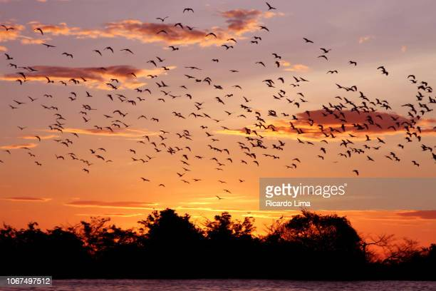 sunset at tapajos river, santarem, brazil - lima animal stock pictures, royalty-free photos & images