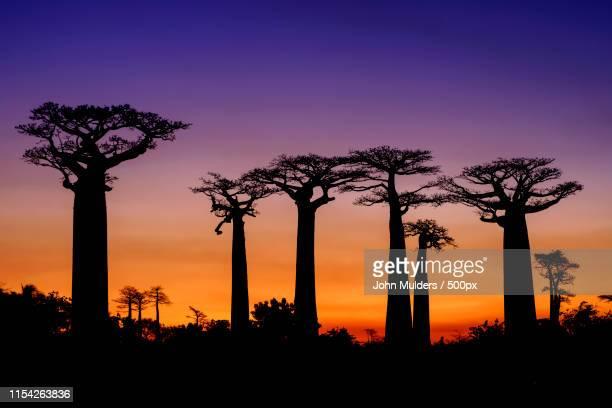 sunset at the avenue of baobabs - madagascar fotografías e imágenes de stock