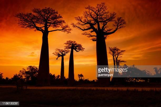 puesta de sol en la famosa avenida baobab (alley) en madagascar - madagascar fotografías e imágenes de stock
