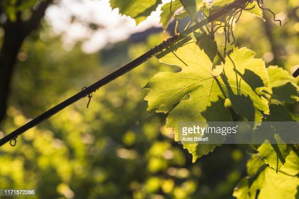 sunset at vineyards - grape leaf stock pictures, royalty-free photos & images