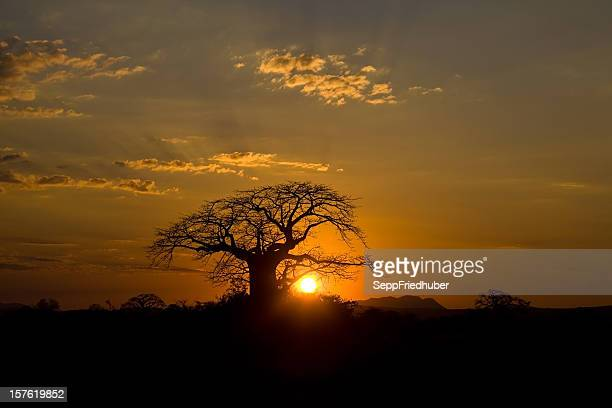 Sunset behind baobab tree Ruaha Nationalpark Tanzania.